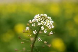 菜の花畑7