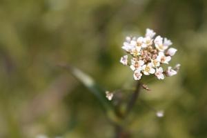 菜の花畑8