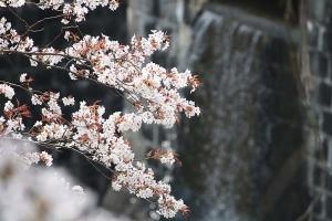 豊稔池の桜5