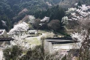 豊稔池の桜6