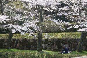 豊稔池の桜8
