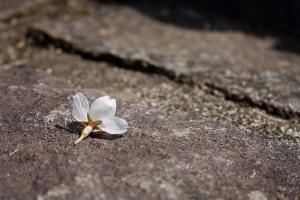 豊稔池の桜9
