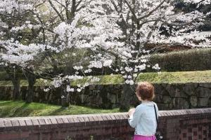 豊稔池の桜11