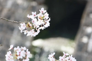 豊稔池の桜12