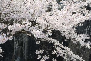 豊稔池の桜13