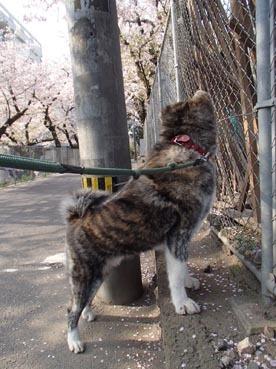 桜散り始め1