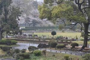 Sakura Trees In The Park