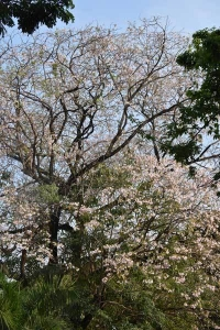 Pink trumpet tree (Tabebuia rosea), or chompoo pantip<br />