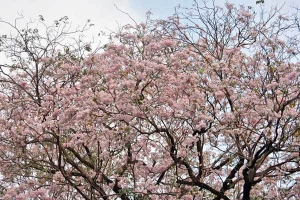 Pink trumpet tree (Tabebuia rosea), or chompoo pantip