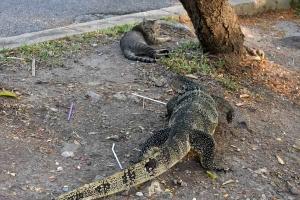 Monitor Lizard Lumpini Park Bangkok