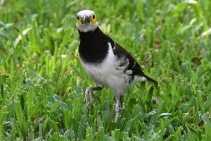 Black-collared Starling, Bangkok