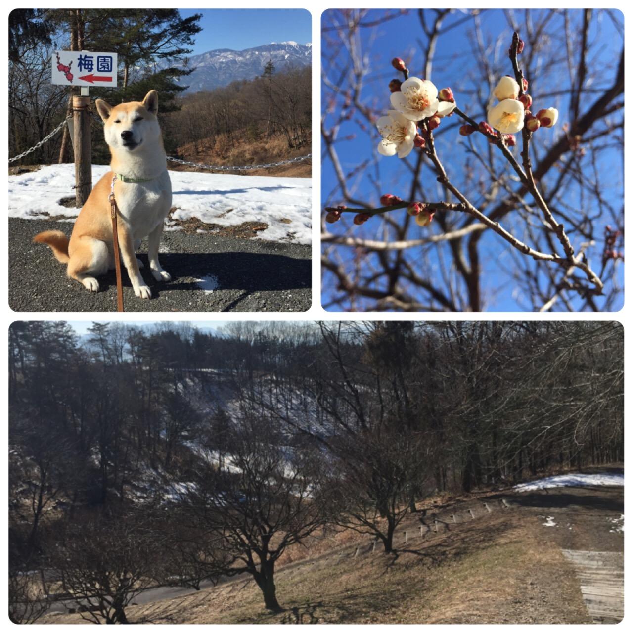 梅の花が咲き始めました!(甲斐敷島・梅の里)