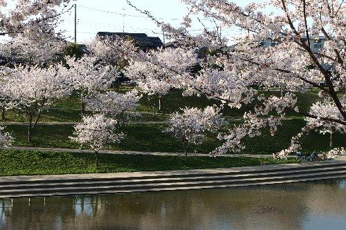 近所桜10