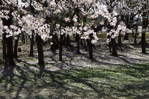 近所桜11