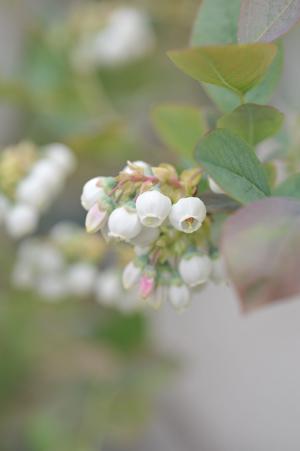 blueberry20180411-1.jpg