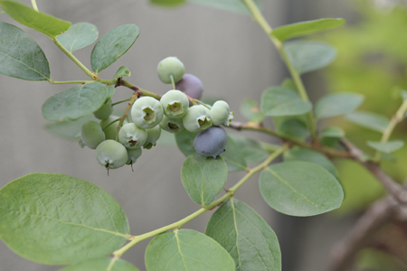 blueberry20180605-1.jpg
