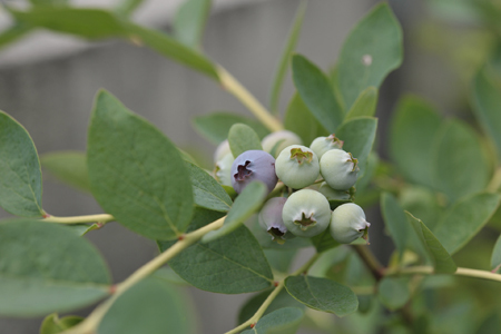 blueberry20180605-2.jpg