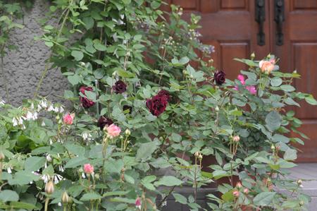 roses20180430-2.jpg
