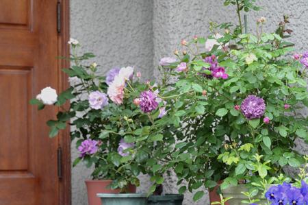 roses20180507-1.jpg