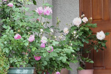 roses20180507-2.jpg