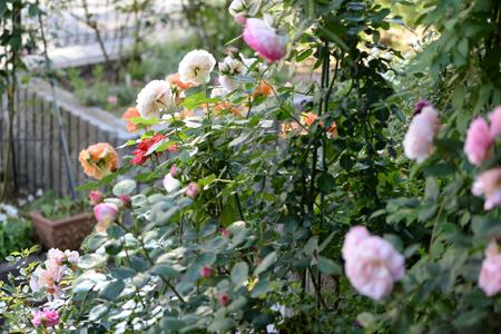 roses20180512-1.jpg