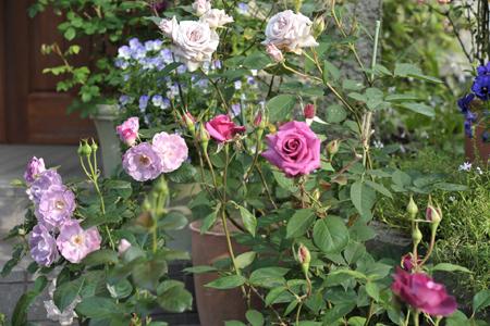roses20180514-1.jpg