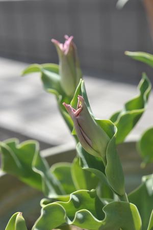 tulip20180331-2.jpg