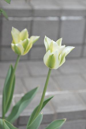 tulip20180405-1.jpg