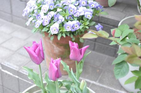 tulip20180405-3.jpg
