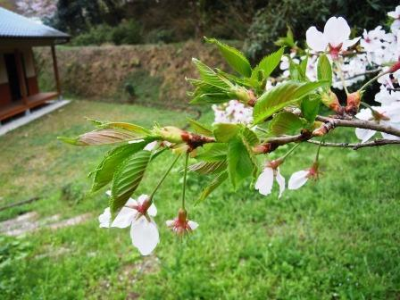 葉桜1(2018-04-01)