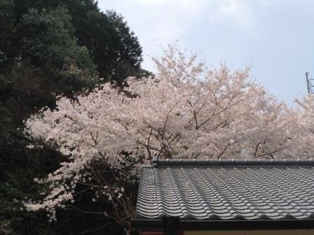桜満開2(2018-04-01)