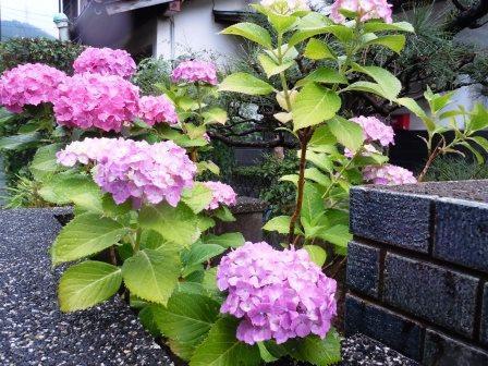 紫陽花8(2018-06-05)