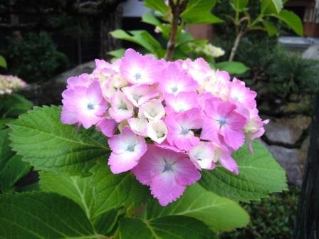 紫陽花10(2018-06-05)