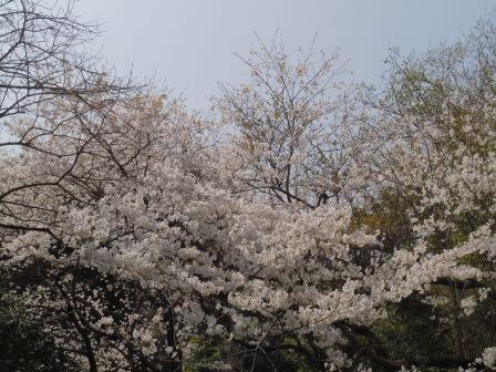 桜満開2(2018-03-30)