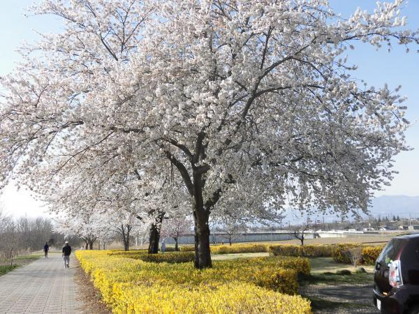 桜さく小道