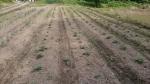 ジャガイモの発芽