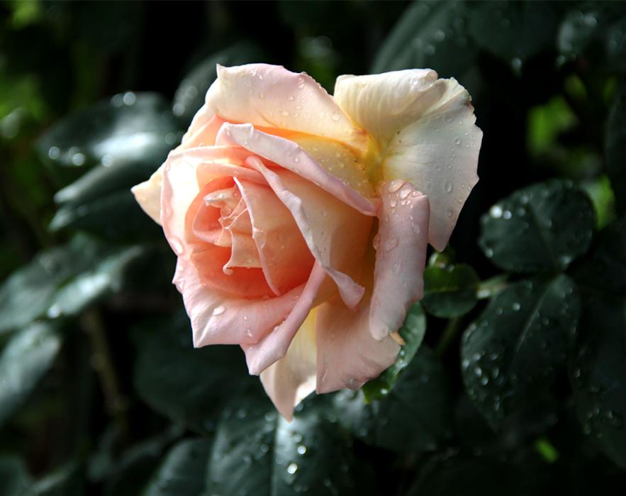 雨後のバラ(1)