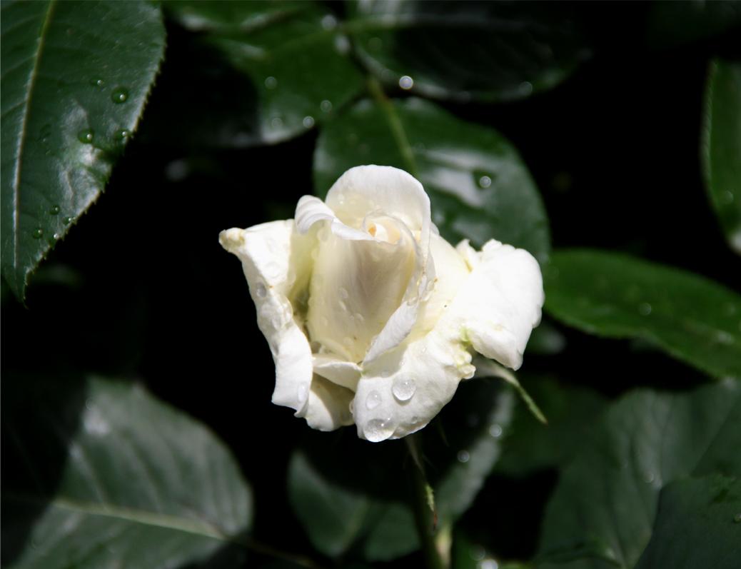 雨後のバラ(2)
