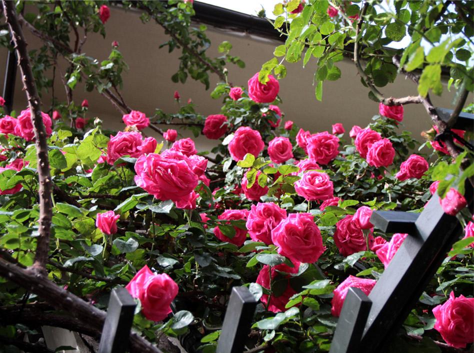 雨後のバラ(3)