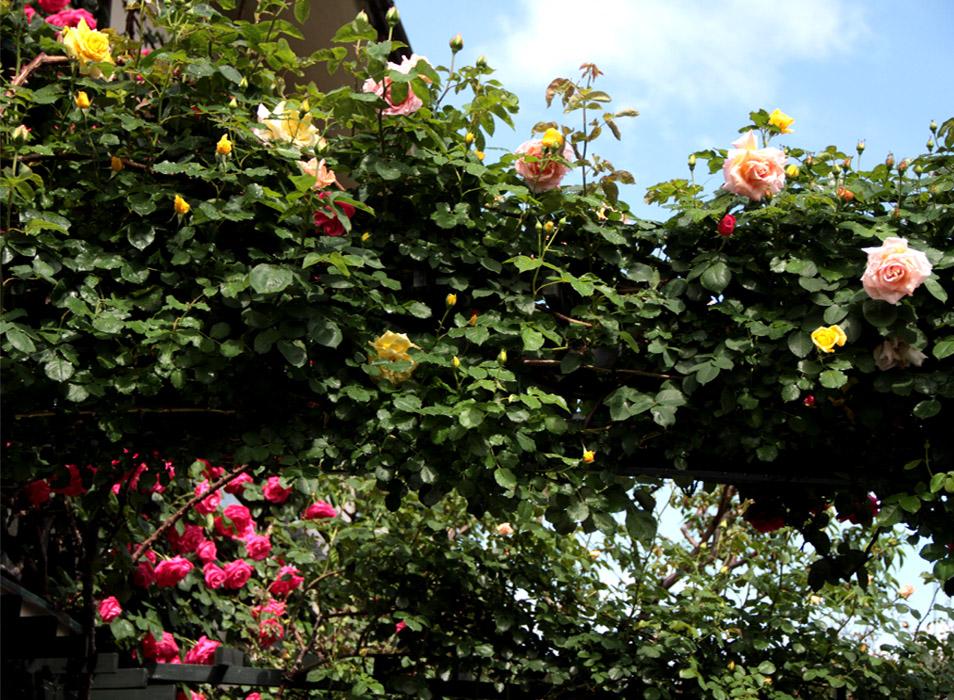 雨後のバラ(4)