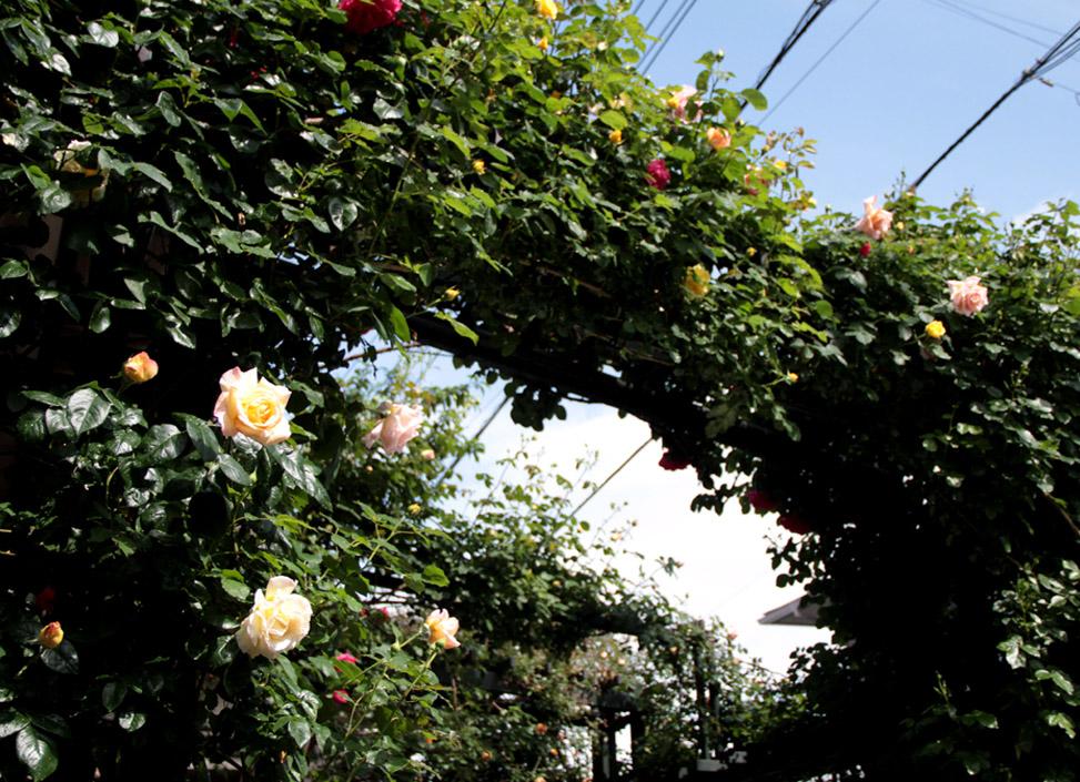 雨後のバラ(5)
