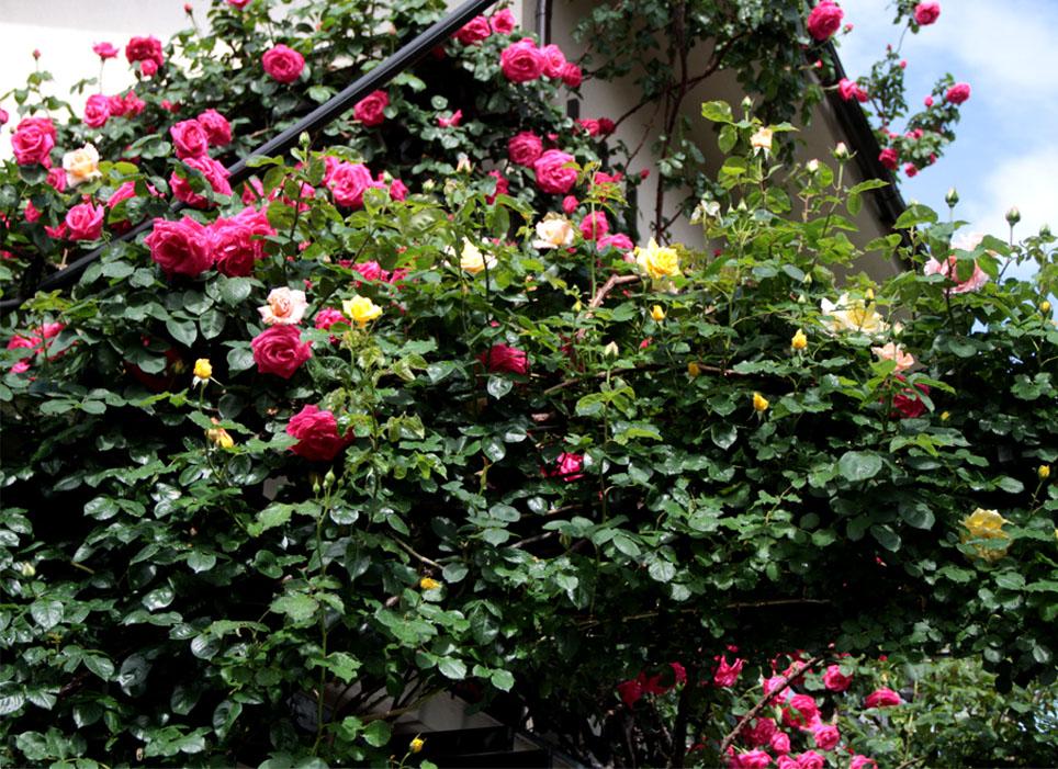 雨後のバラ(6)