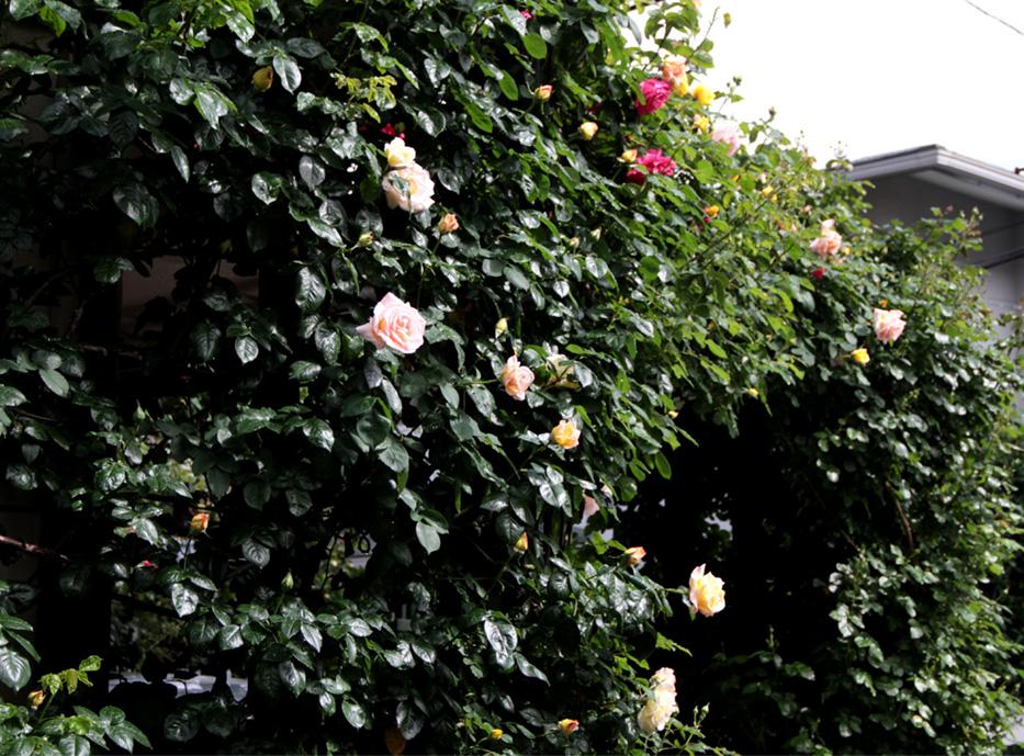 雨後のバラ(7)