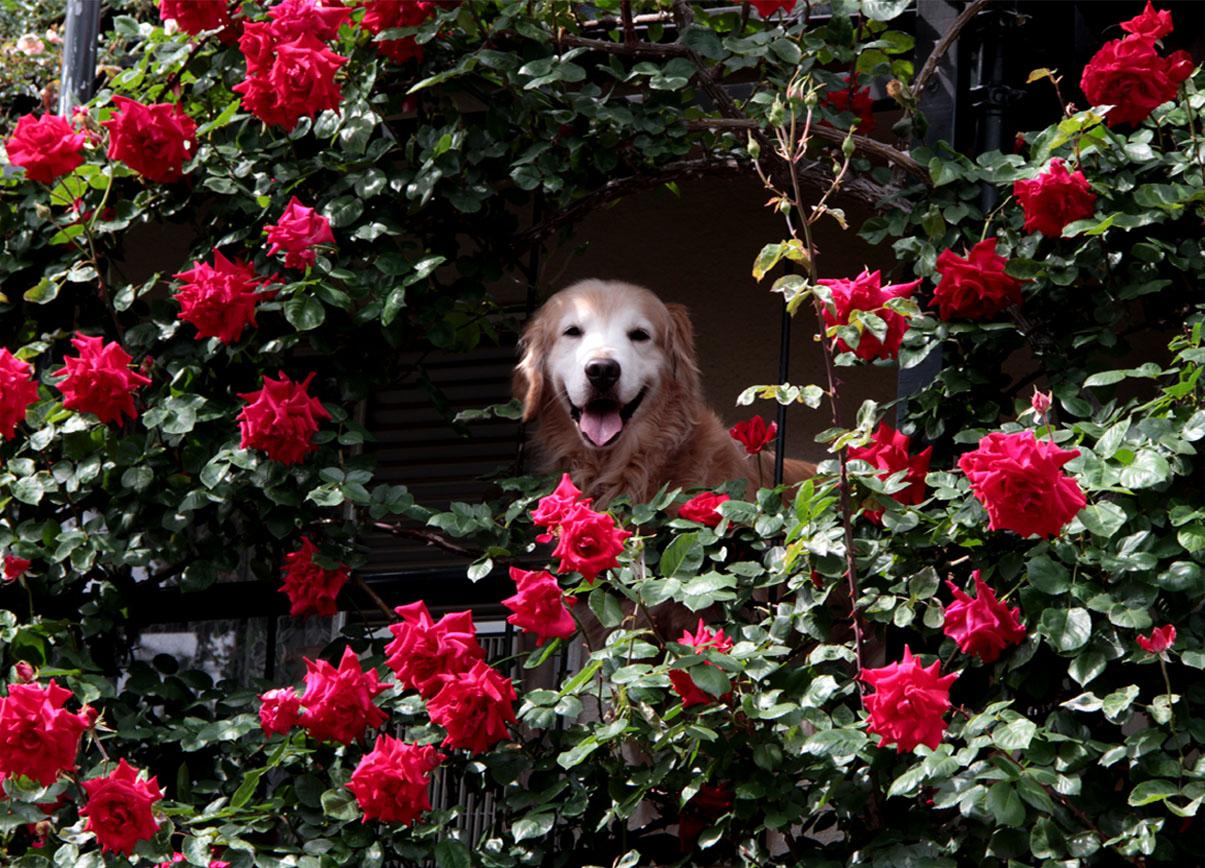 今日は赤いバラの中から(2)