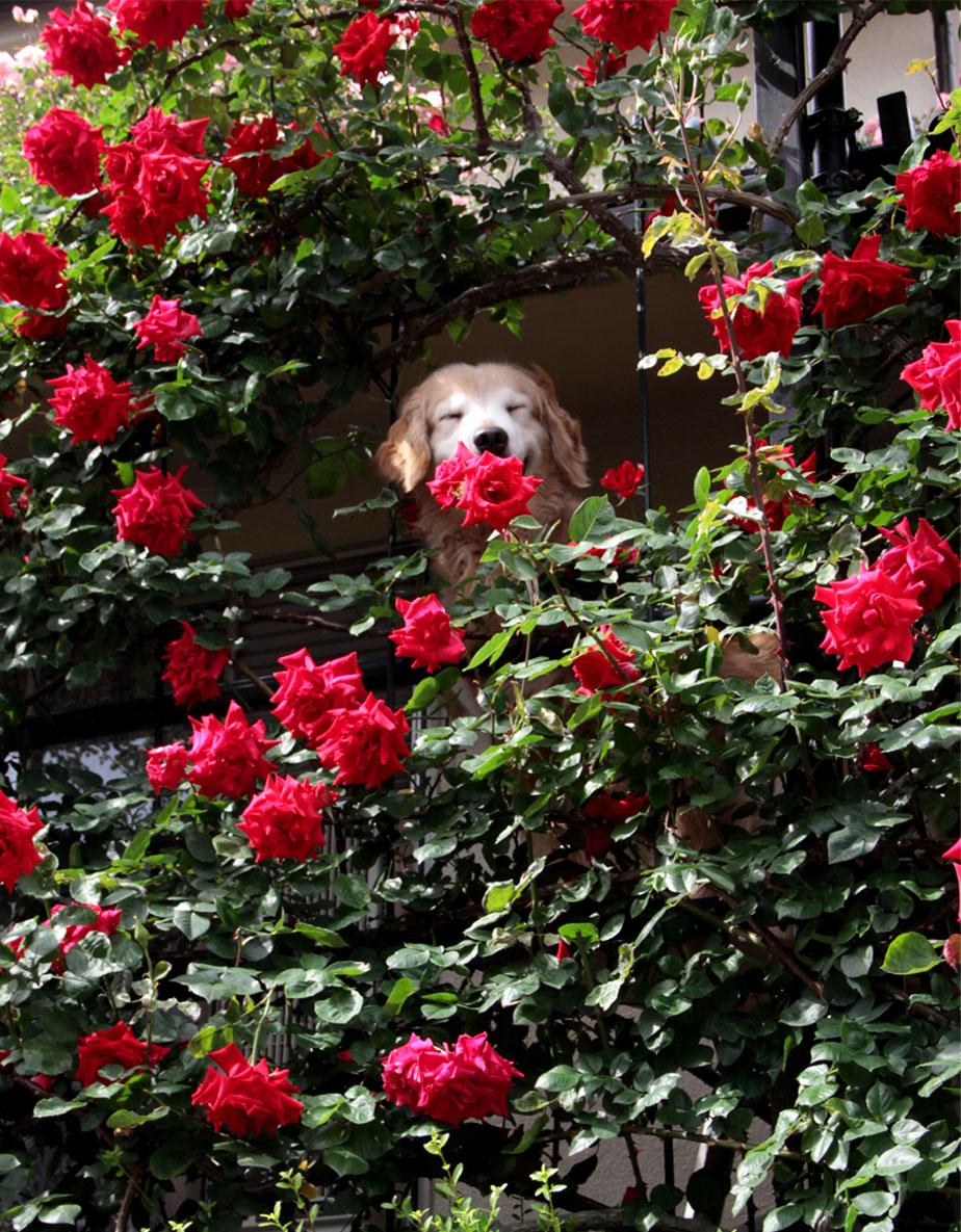 今日は赤いバラの中から(3)