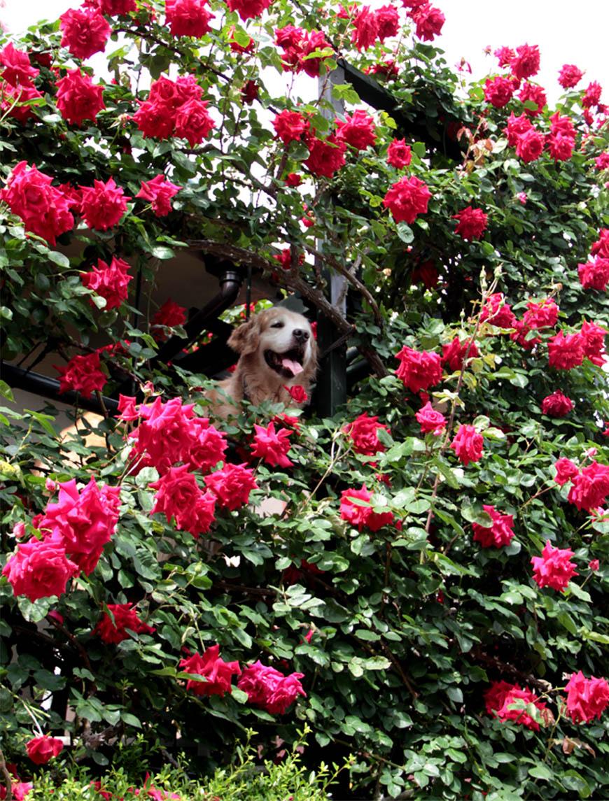 今日は赤いバラの中から(4)