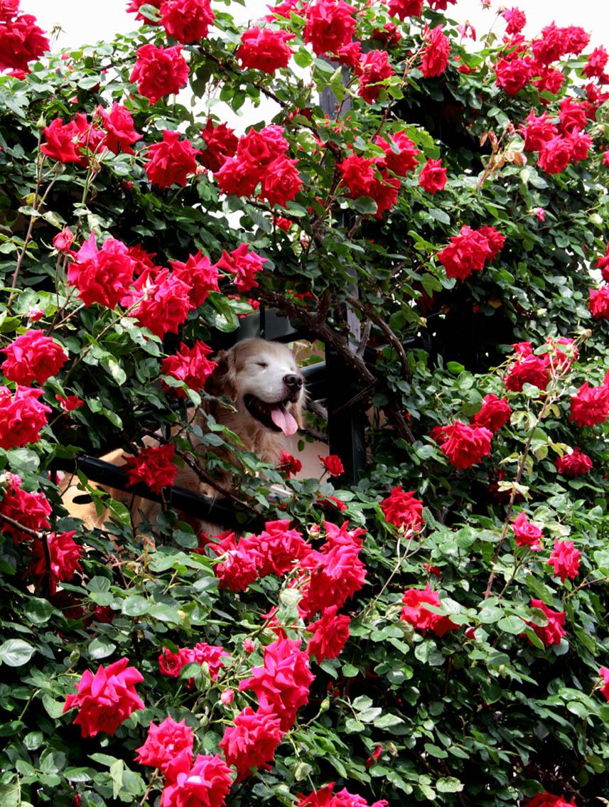 今日は赤いバラの中から(5)