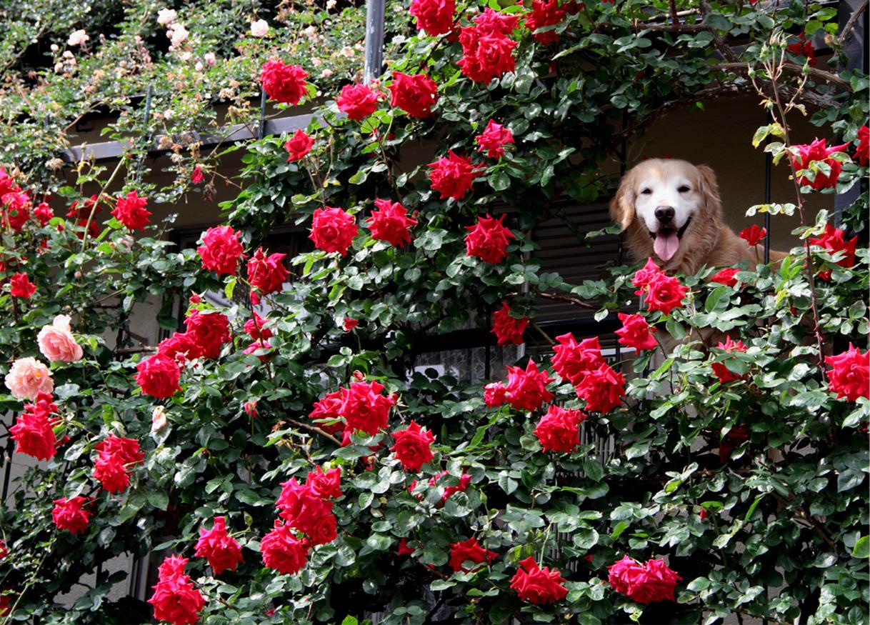今日は赤いバラの中から(6)