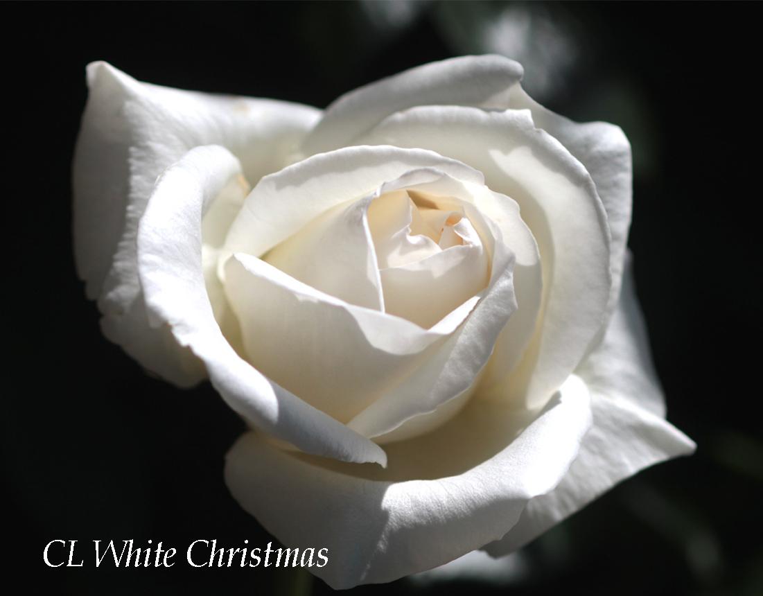 つるホワイトクリスマ 名入