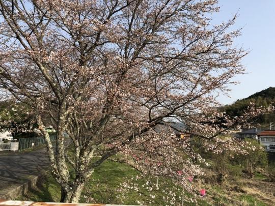 sakura_20180331_001.jpg